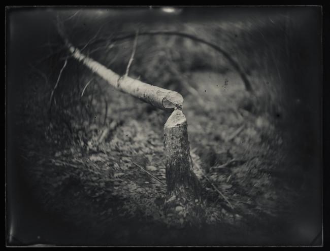 Beaver Tree_Brian Gaberman
